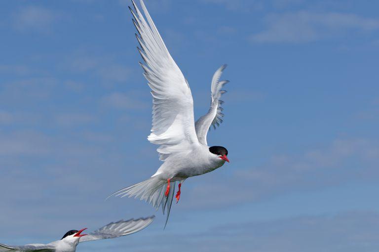 Arctic tern flying (Sterna paradisea)