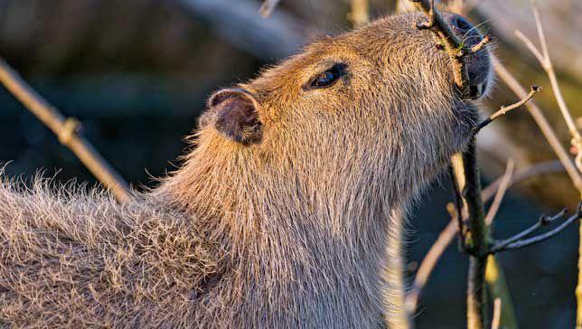 capybara-eating