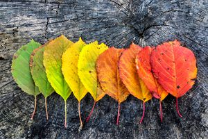 Color Gradients Of Autumn Leaves On Rustic Wooden Table