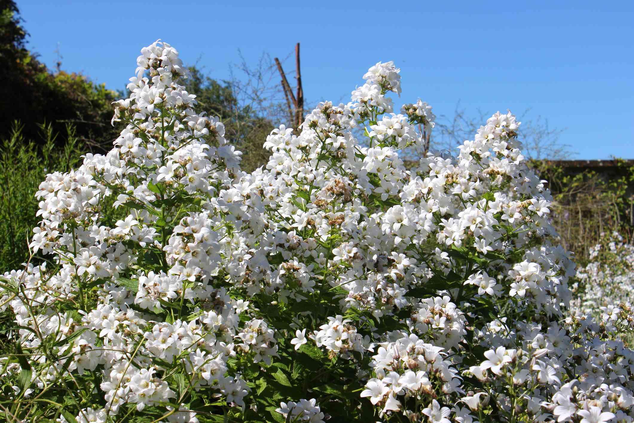 white Phlox paniculata 'David' blooming in a field under a blue sky