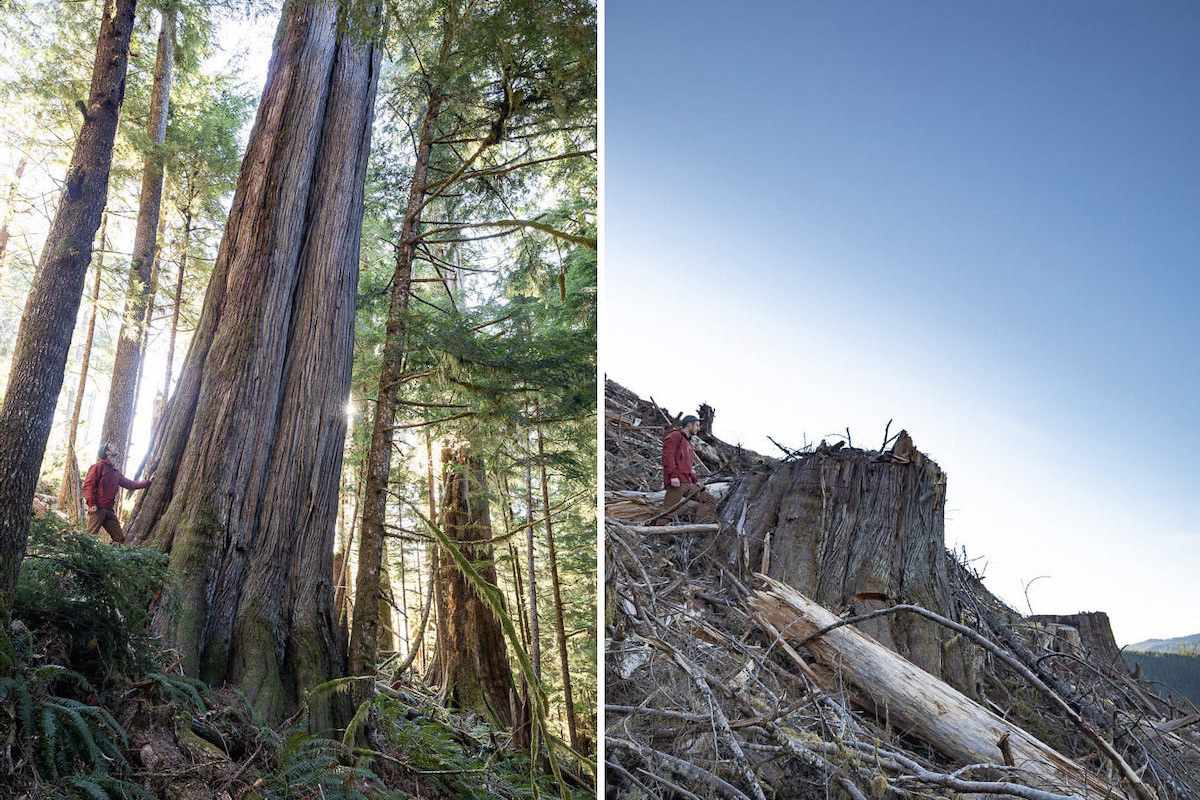 Ancient old-growth tree cut down
