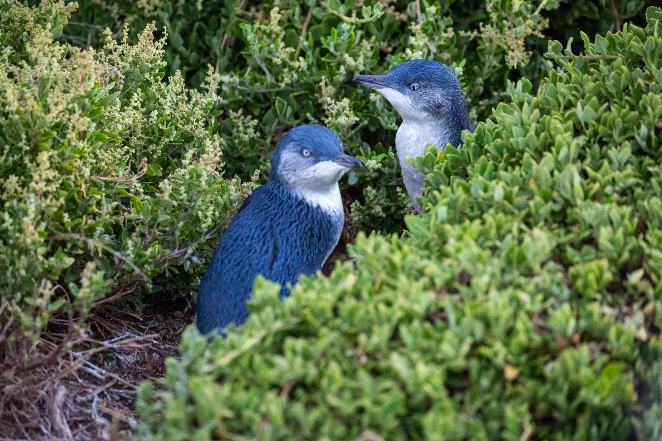 Australia: pair of young blue Fairy Penguins