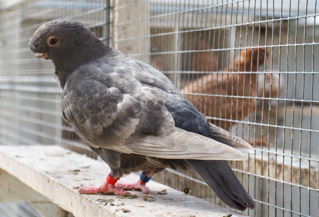 African owl pigeon standing in a wire cage