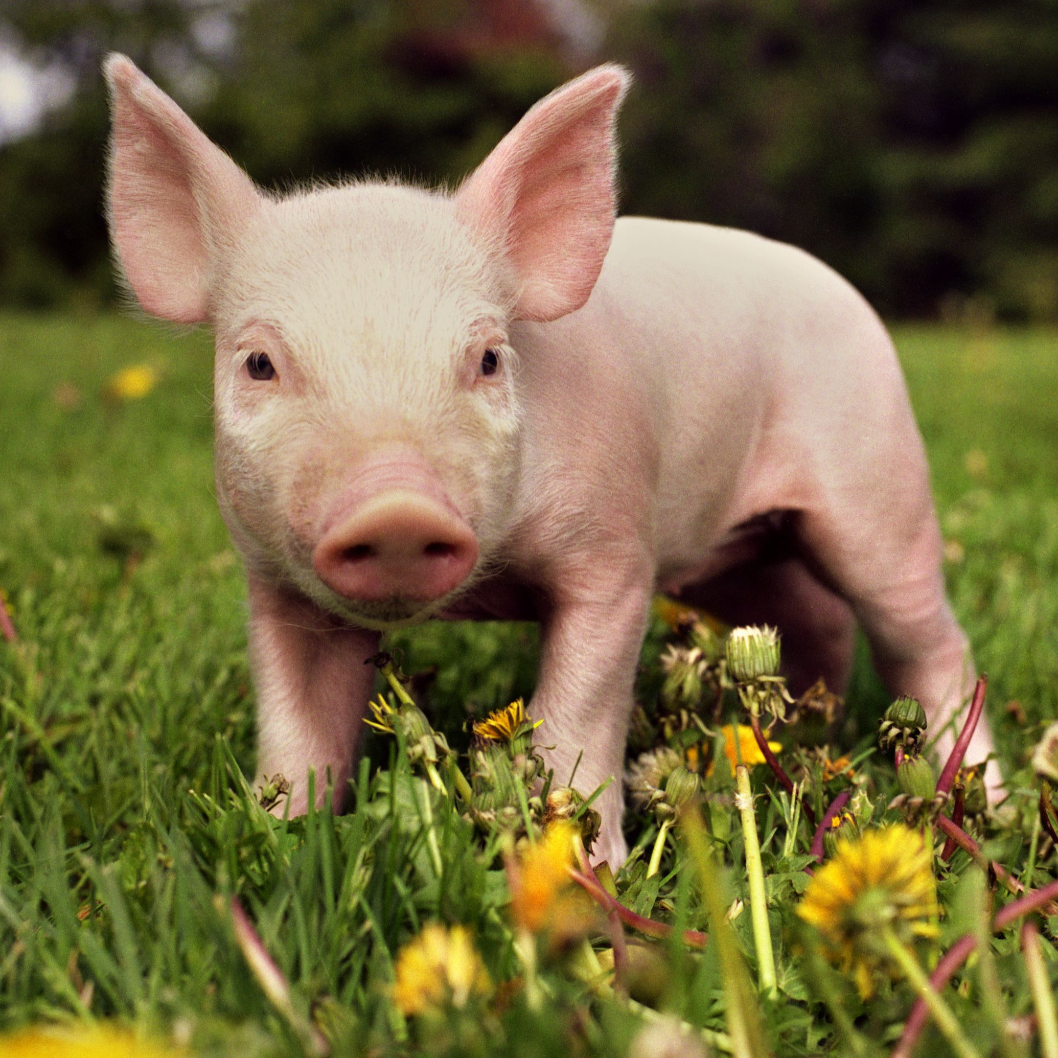8 Surprising Facts About Pigs