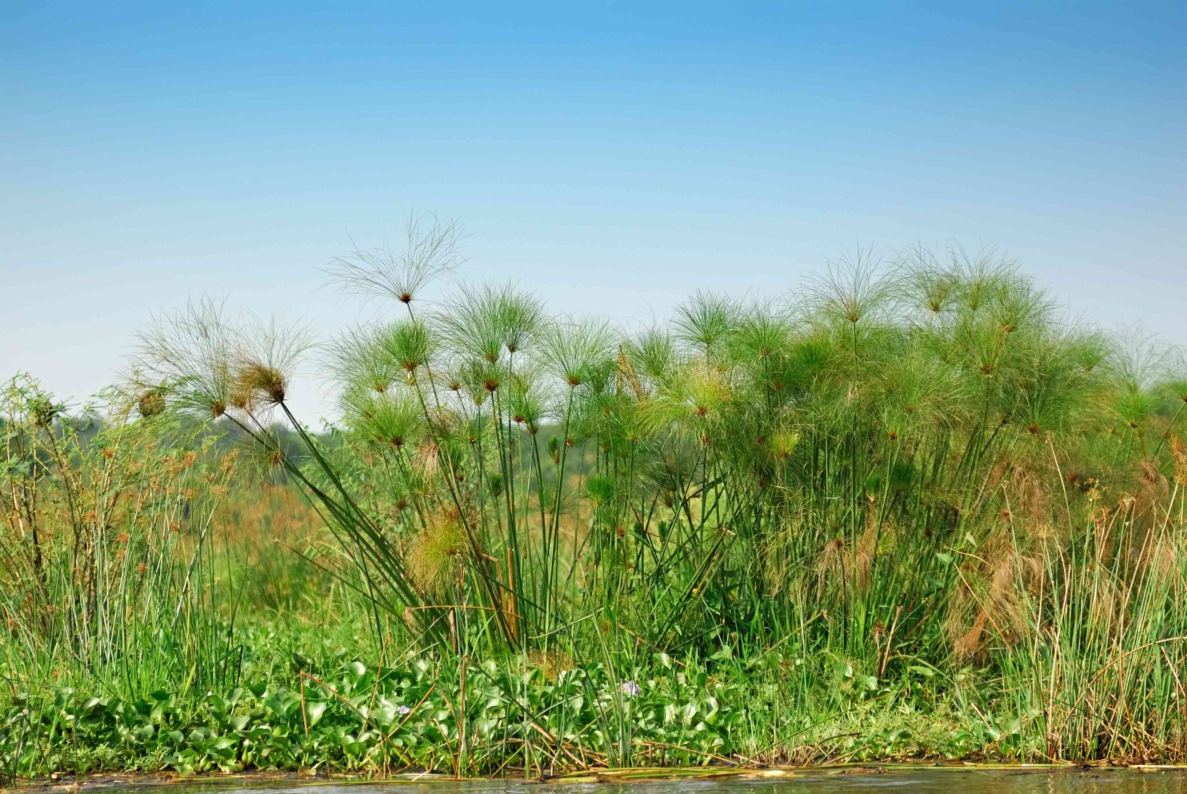 papyrus plant on the Nile River, Uganda