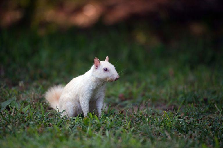 ¿Has visto alguna vez una ardilla blanca?