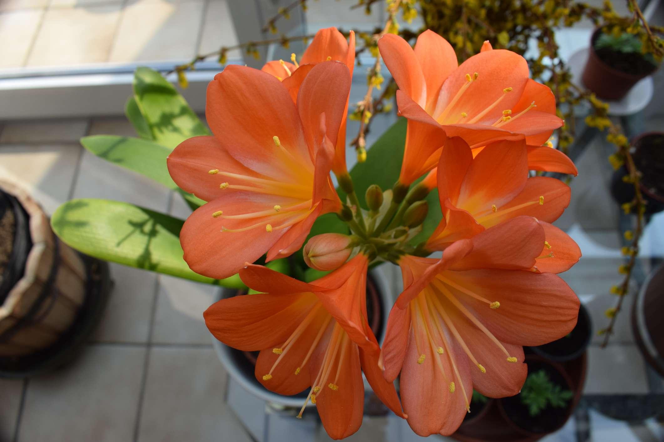 Clivia miniata (bush lily) growing indoors