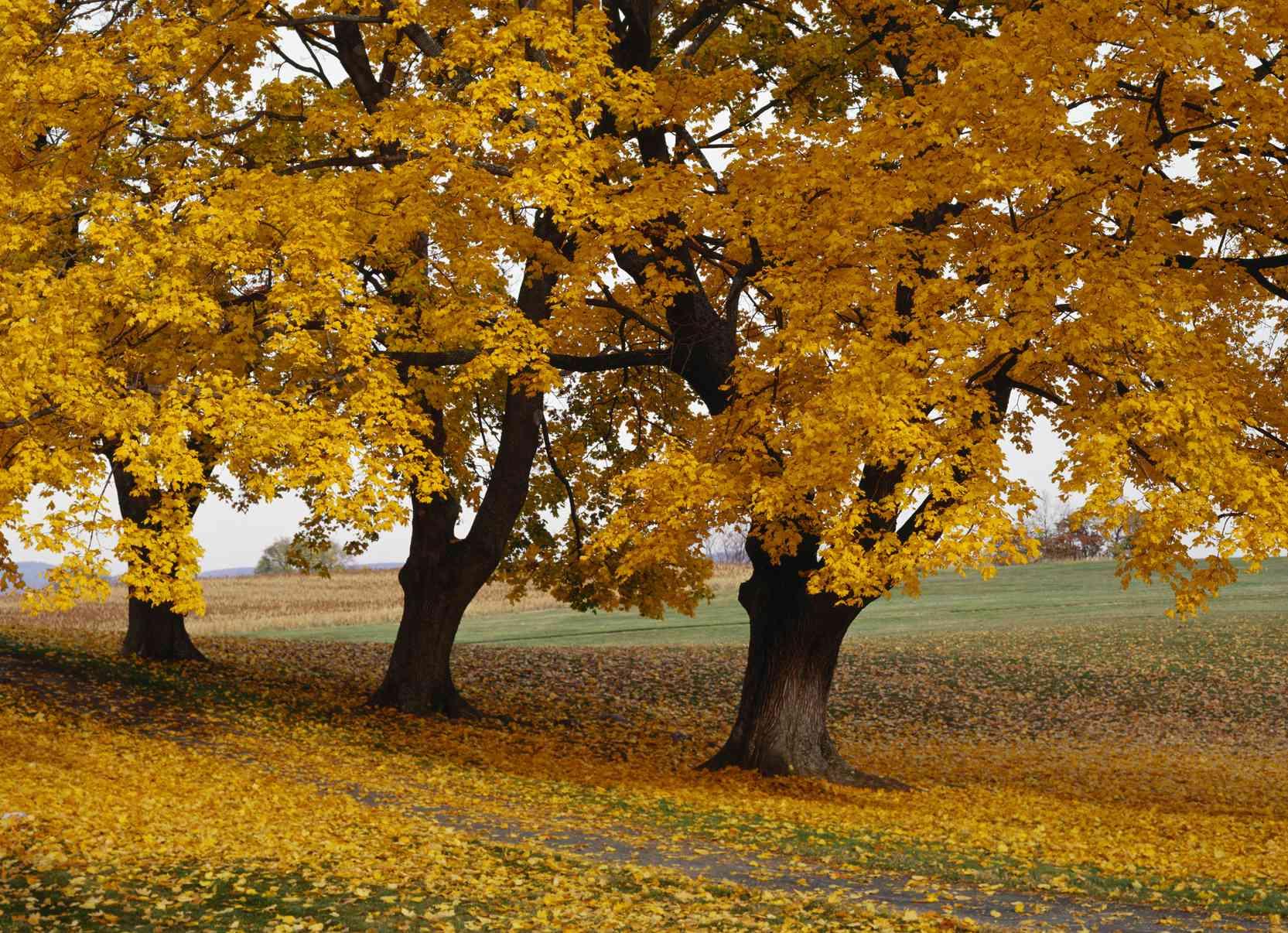 Boxelder trees turning orange in the fall.