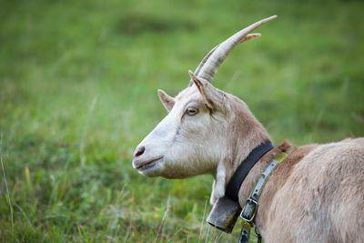 A goat in a field