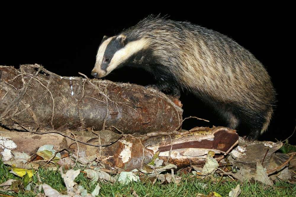Badger sniffing log at night