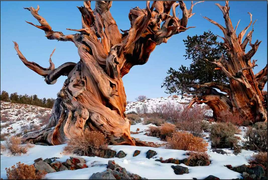 Oldest tree ever documented: Prometheus