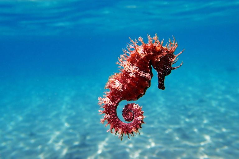 red Mediterranean Seahorse with blue water background