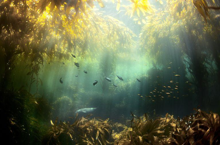 Seagrass and fish in water, Santa Cruz Island, California, USA