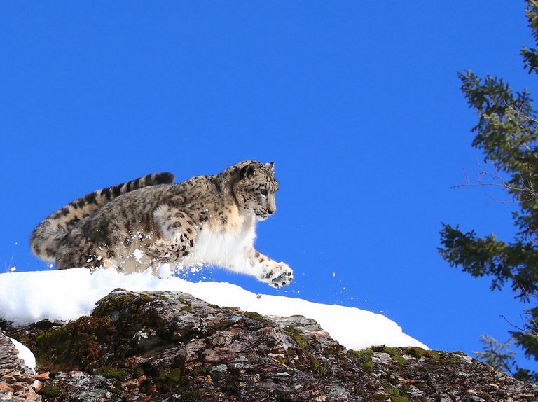 A snow leopard leaping from a snow covered mountain with a bright blue sky behind it