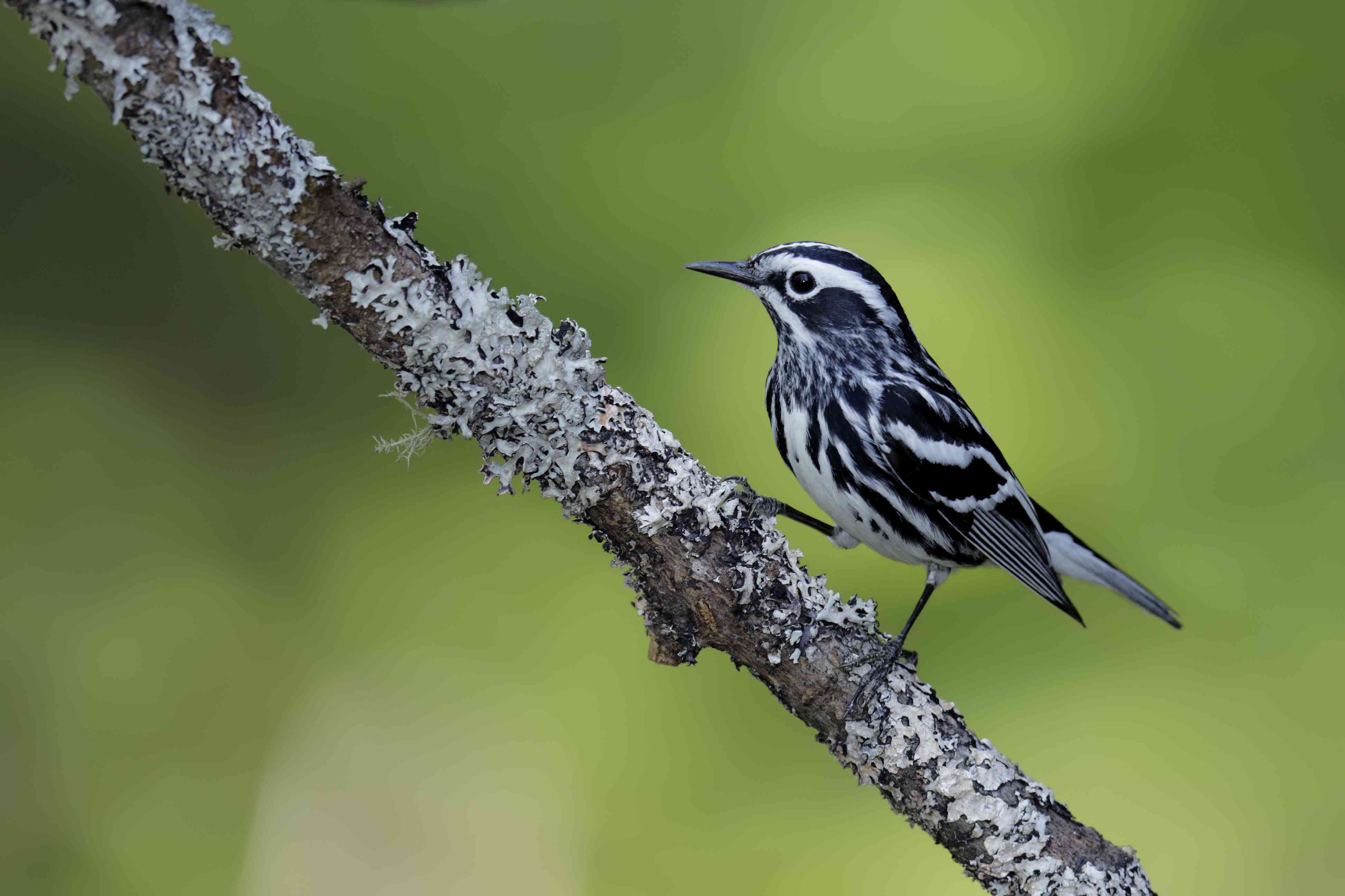 Black-and-white warbler on a branch
