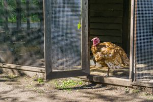 turkey bird standing in the door opening