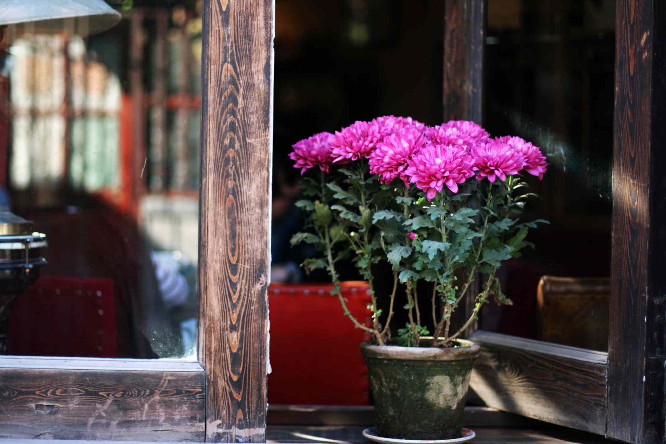 Pink chrysanthemum in an open window