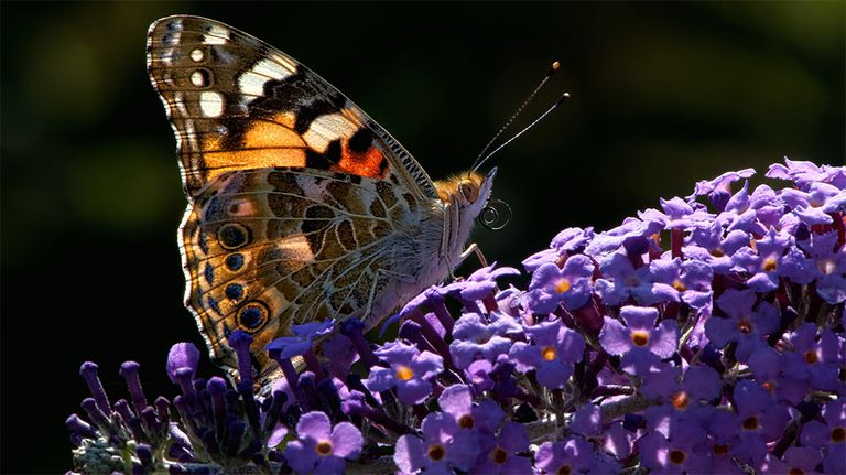 Painted Lady butterfly on a flower bloom