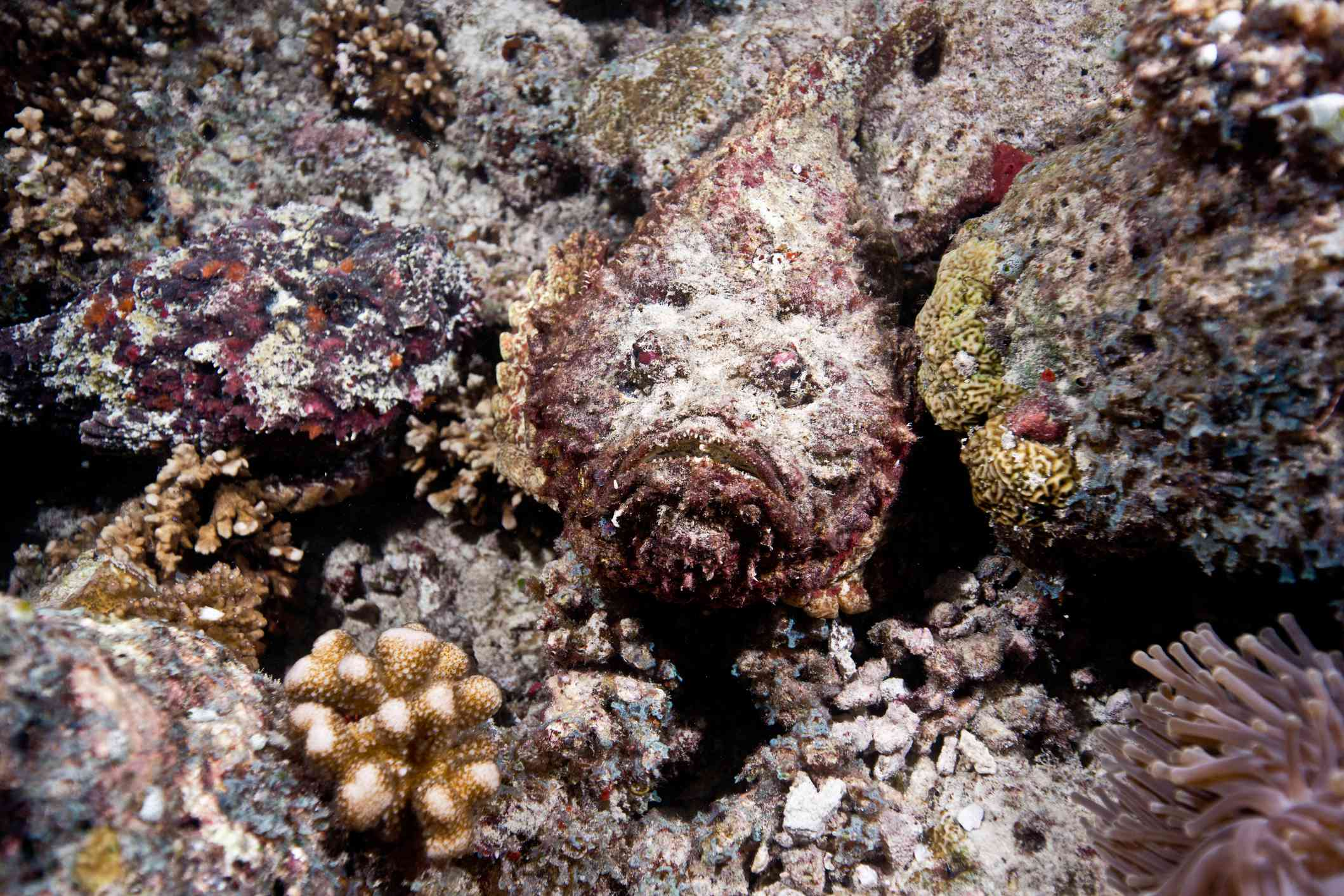 Stonefish hiding among red, gold, and green coral