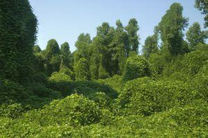 Kudzu taking over a forest