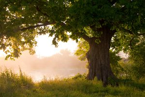 Large oak tree provides shade near a pond on a misty morning