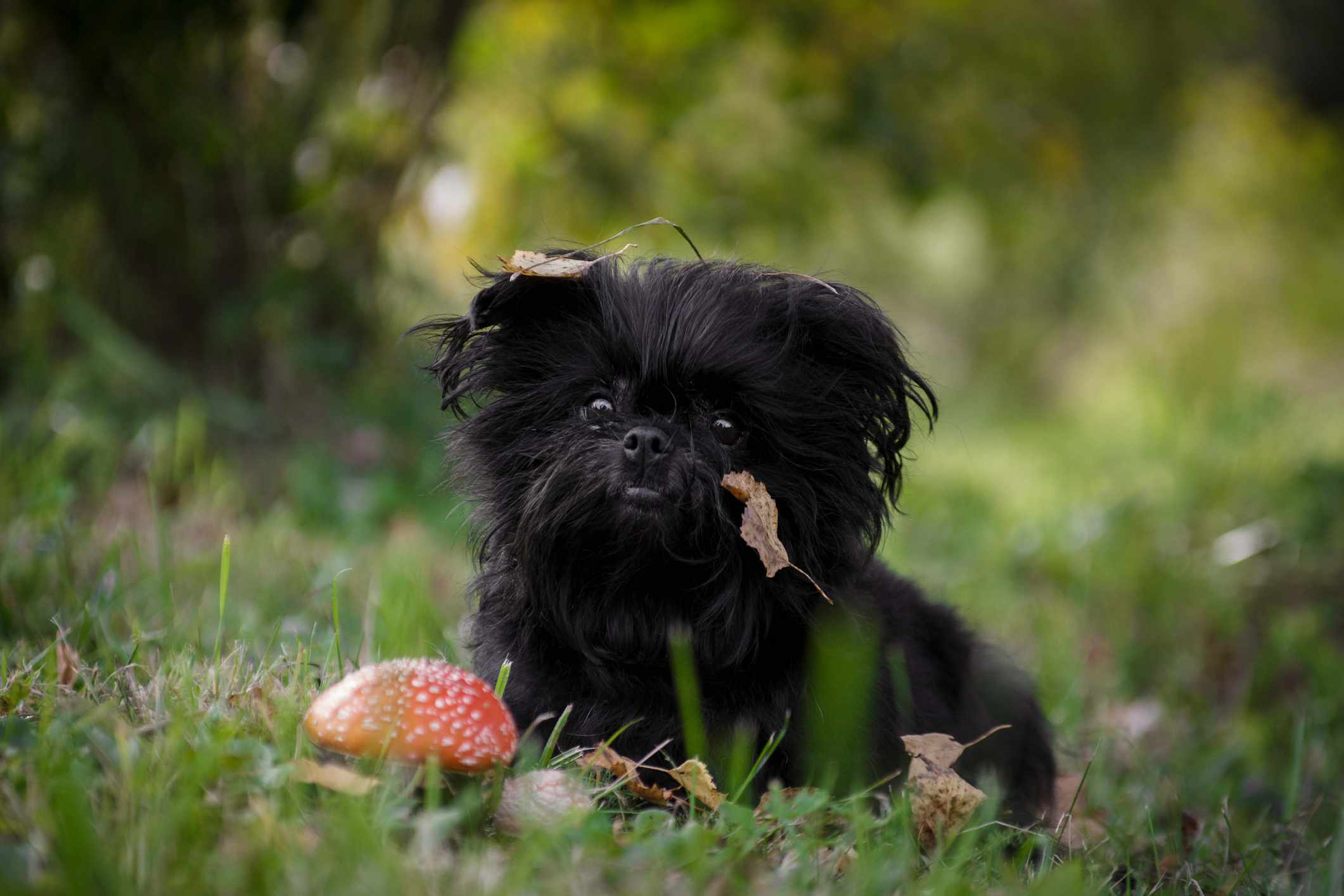 Black shaggy affenpincher dog sitting next to the fly agaric on the grass in the forest