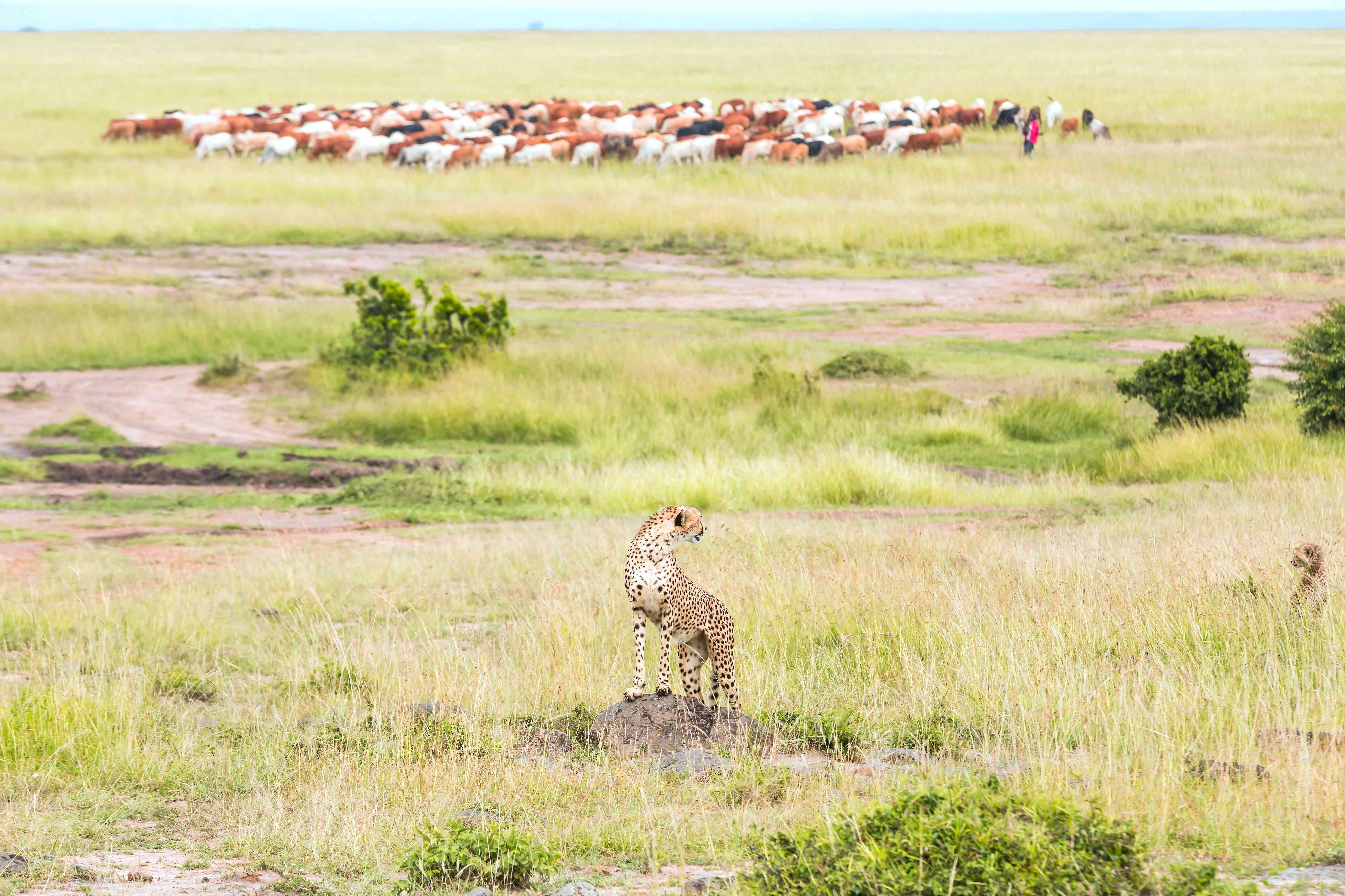 Cheetah and cub - Watching with Masai cattle herd