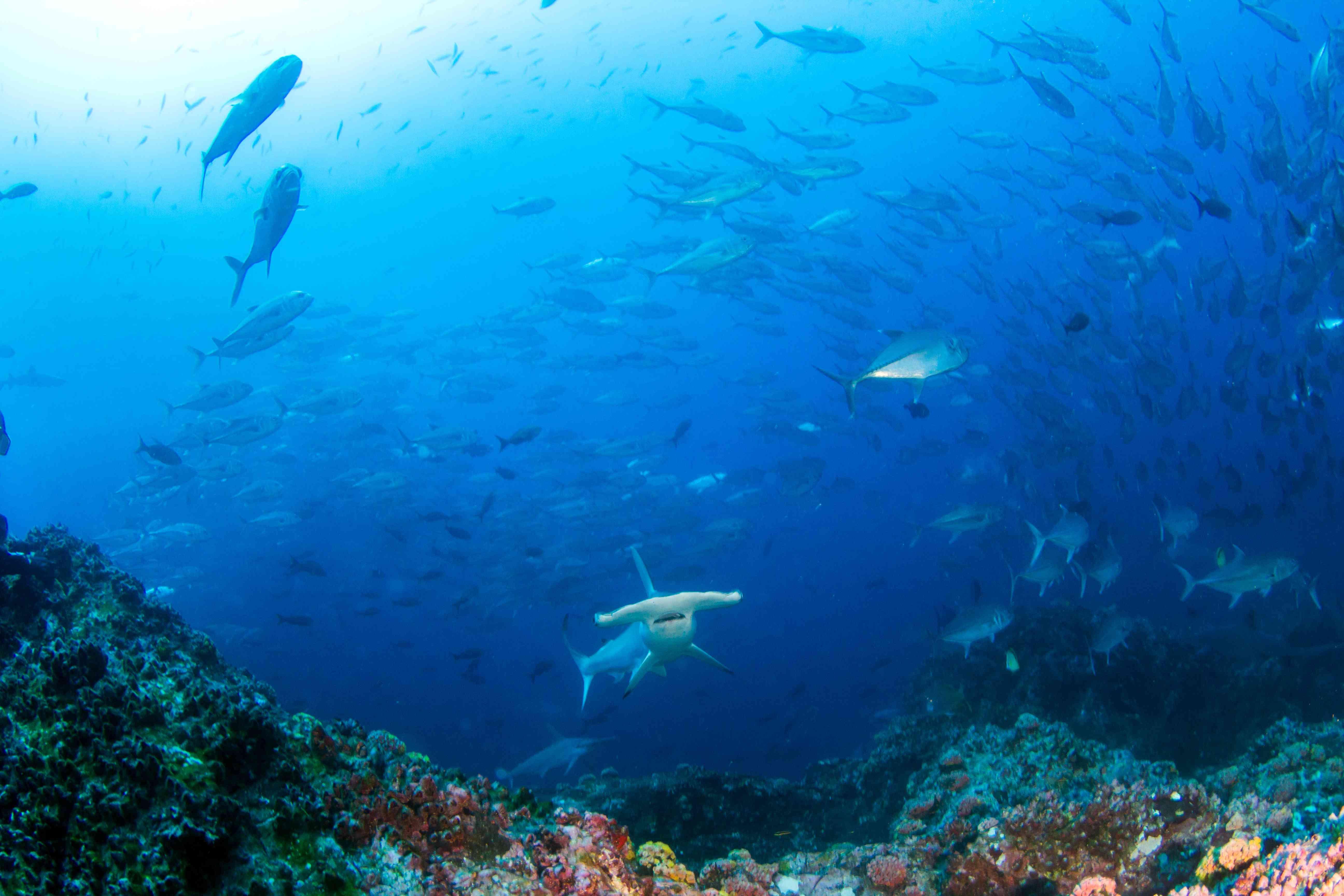 hammerhead shark in Costa Rica