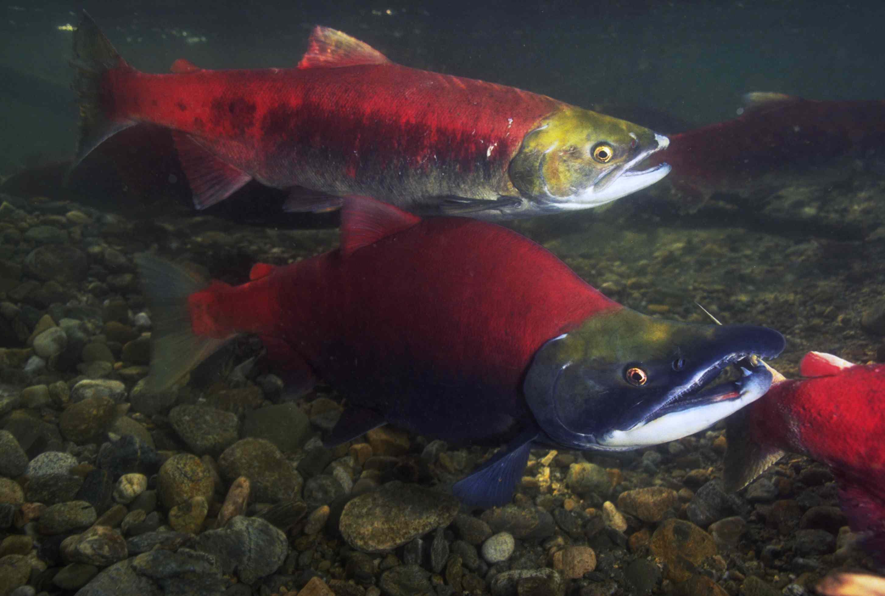 Spawning Sockeye Salmon on the Fraser River Run in North America