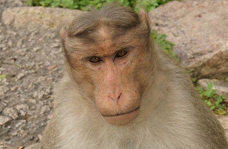 langur-monkey-1.jpg