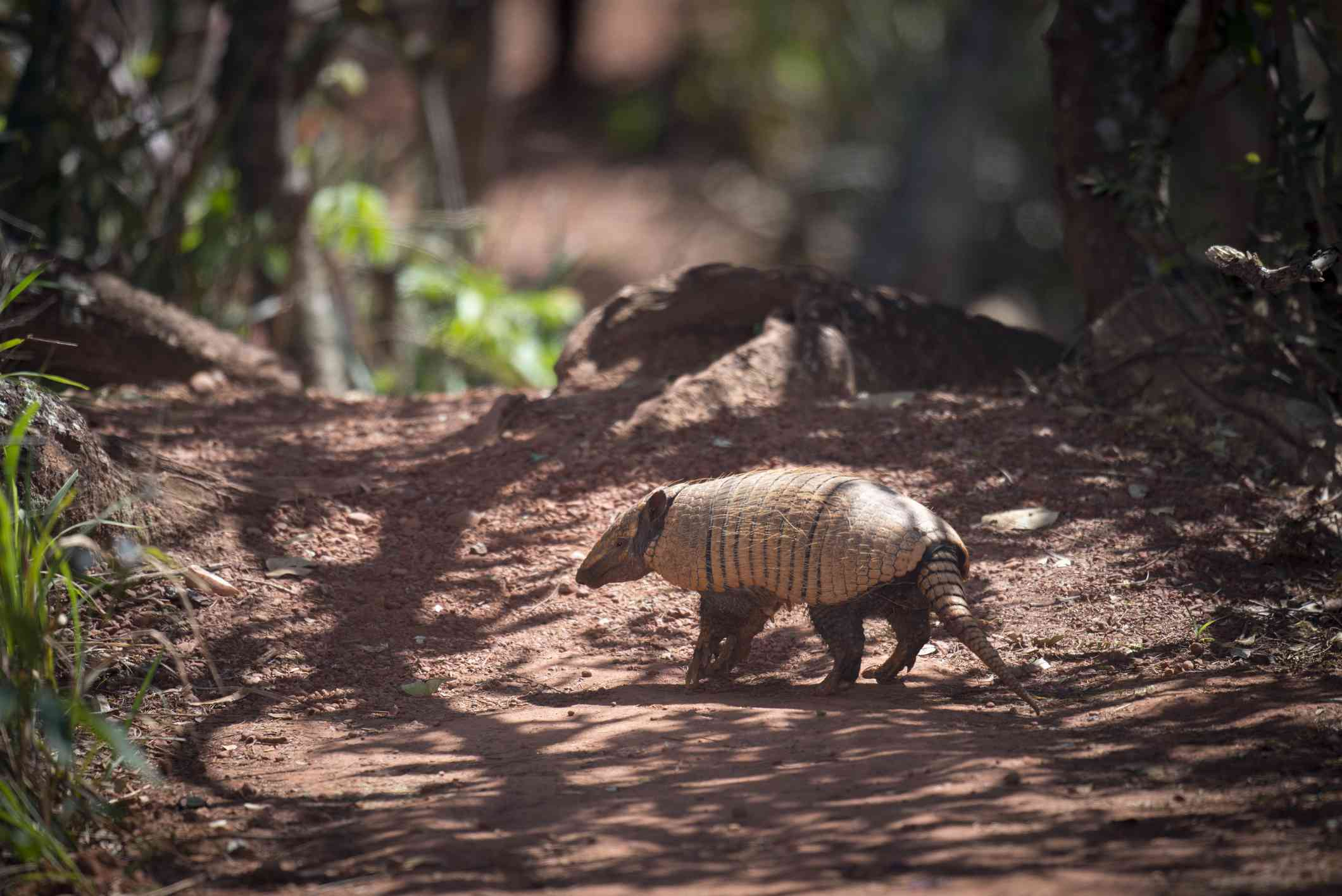 Brazilian three-banded armadillo with light brown shell on a wooded path in the Andes