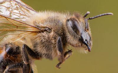A closeup of a honeybee.