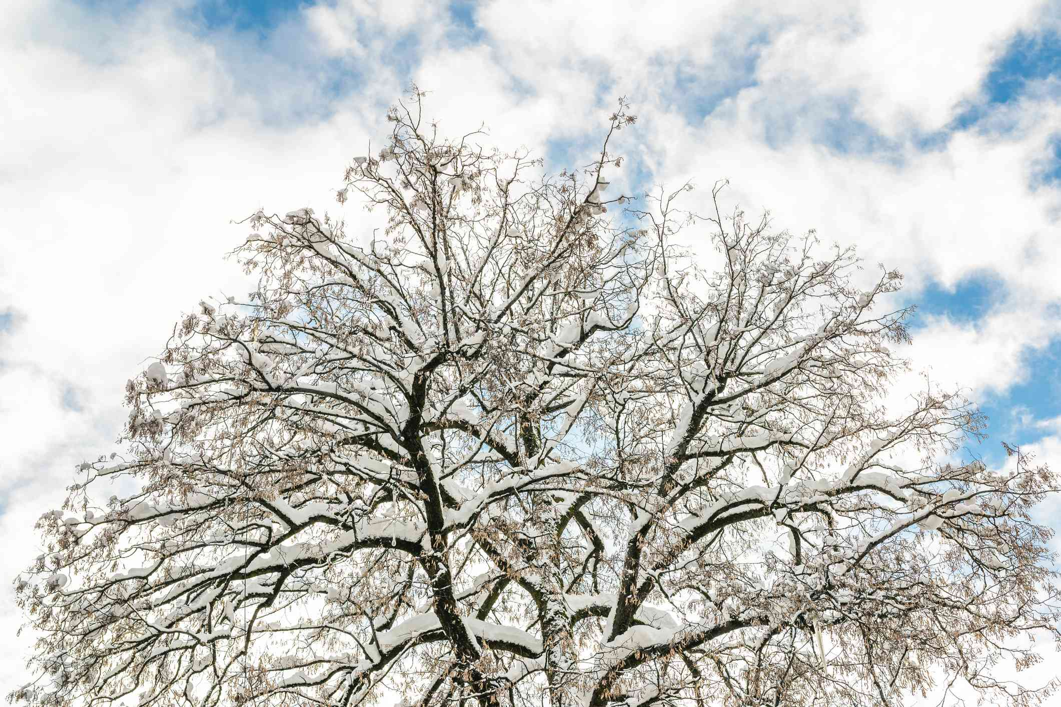 Crown of a tree covered in snow against a cloudy blue sky.