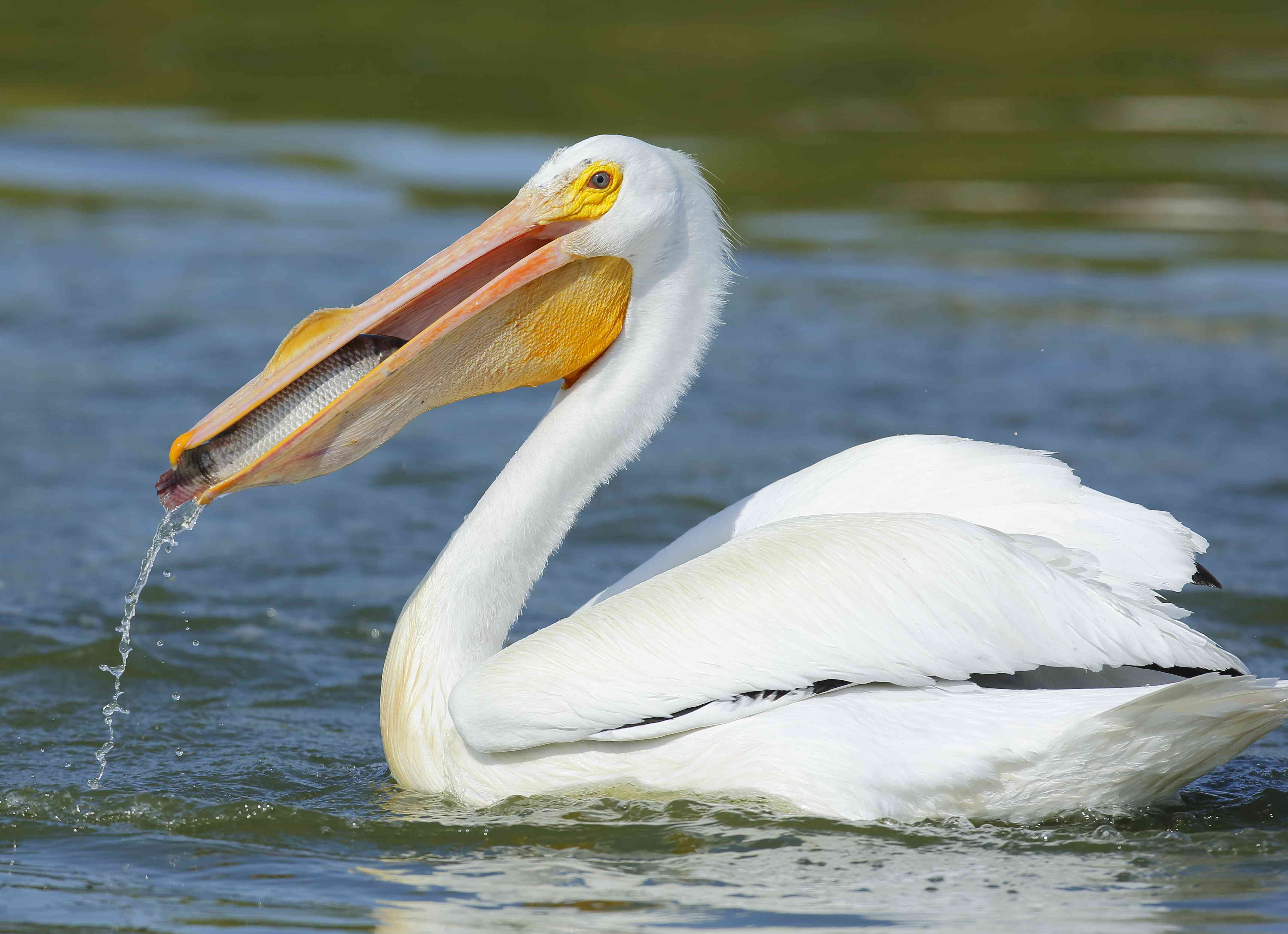 American white pelican eating a fish