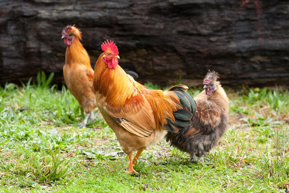brightly colored wild chickens walk on grass