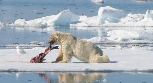 ¿Qué comen los osos polares y cómo se amenaza su comida?