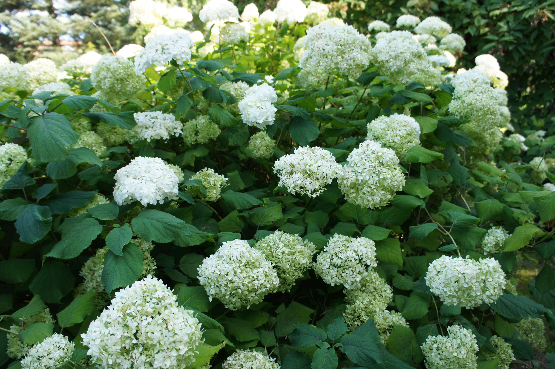 Hydrangea arborescens annabelle smooth hydrangea shrub with white flowers