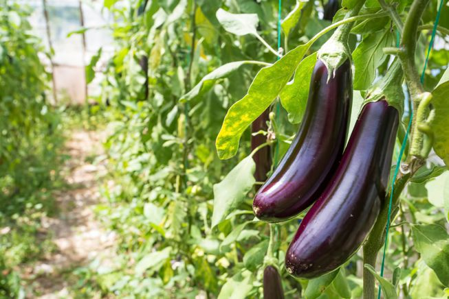 Eggplants growing in a hothouse