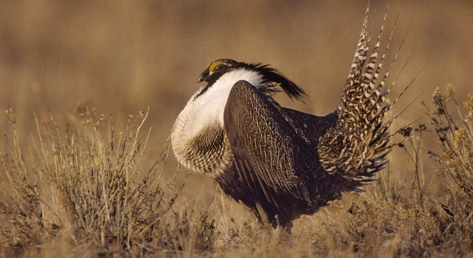 Gunnison sage-grouse with fluffy white plumage and dramatic tail feathers standing in a field.