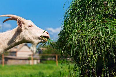 A goat feeding on grass