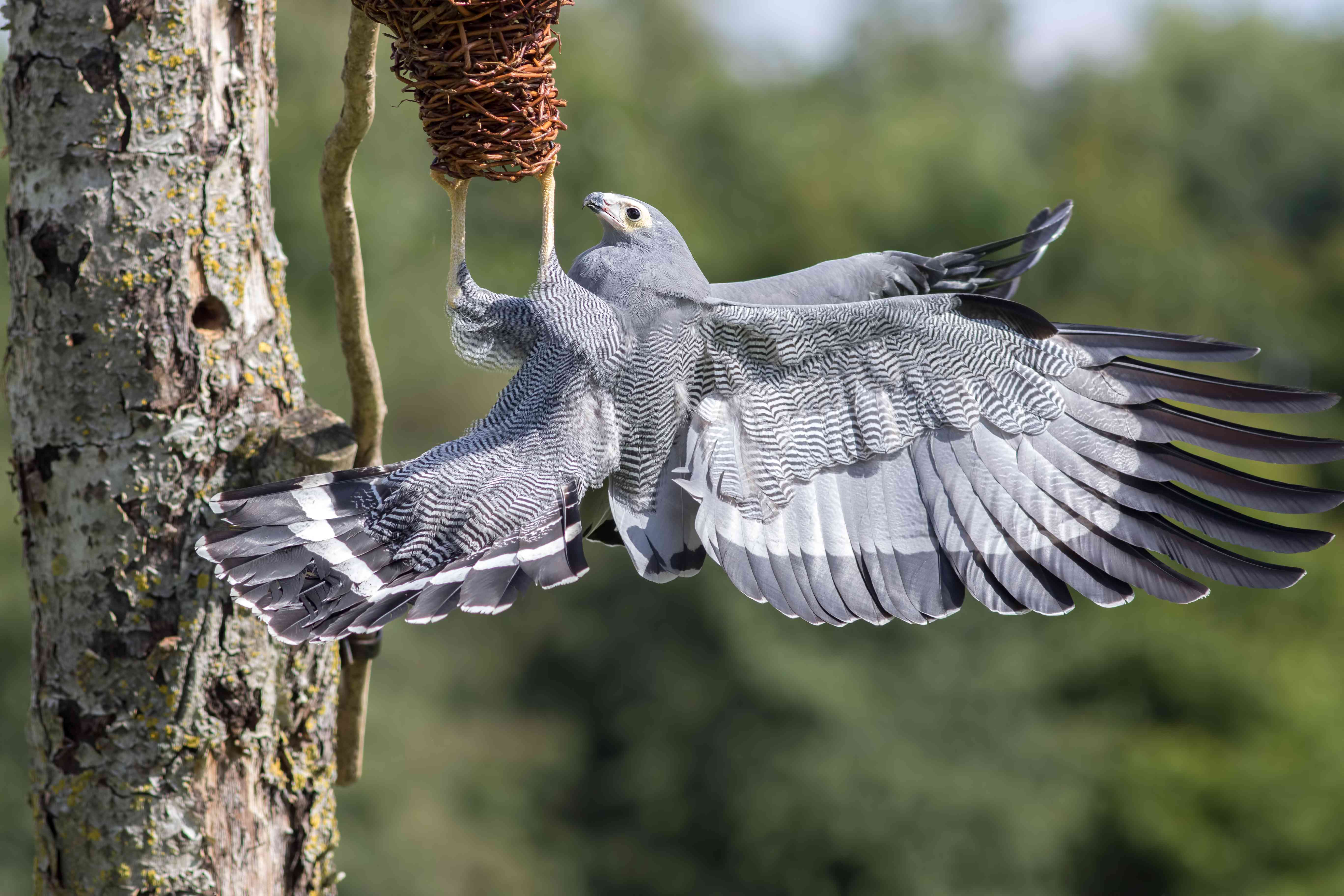 Amazing animal. African Harrier hawk bird of prey foraging for food at nest.