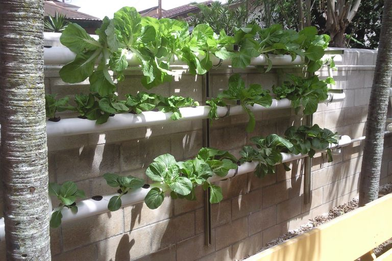 Hydroponic garden growing lettuce along a wall