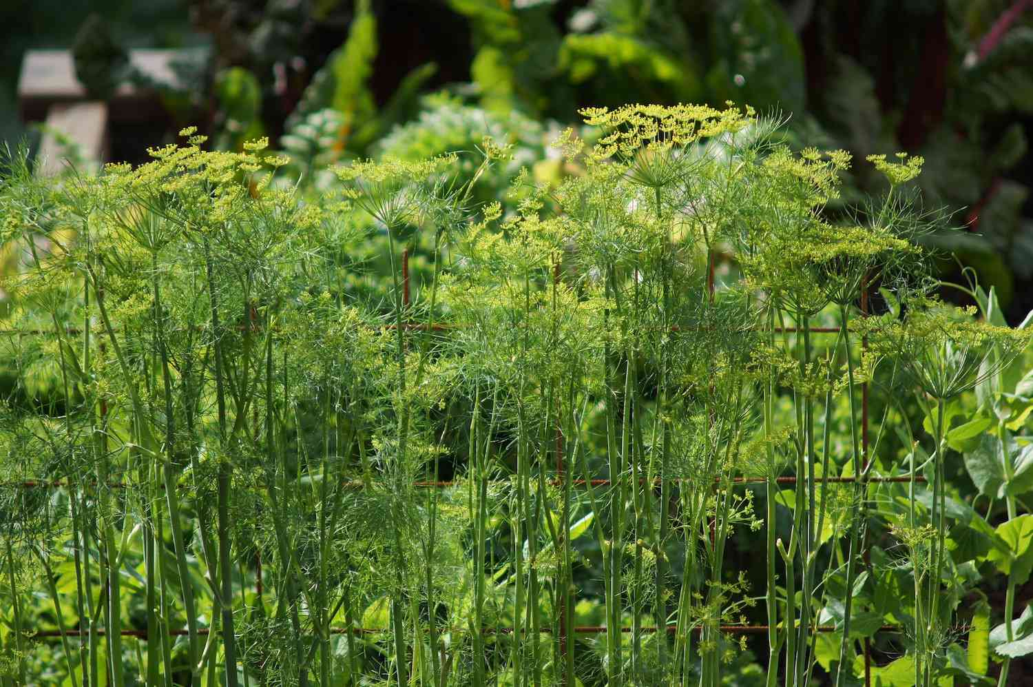 A patch of dill growing in a sunny garden