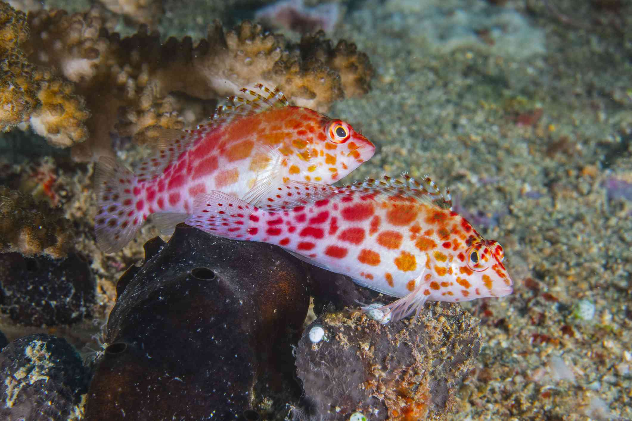 Two hawkfish with orange spots on a reef in the Maldives.