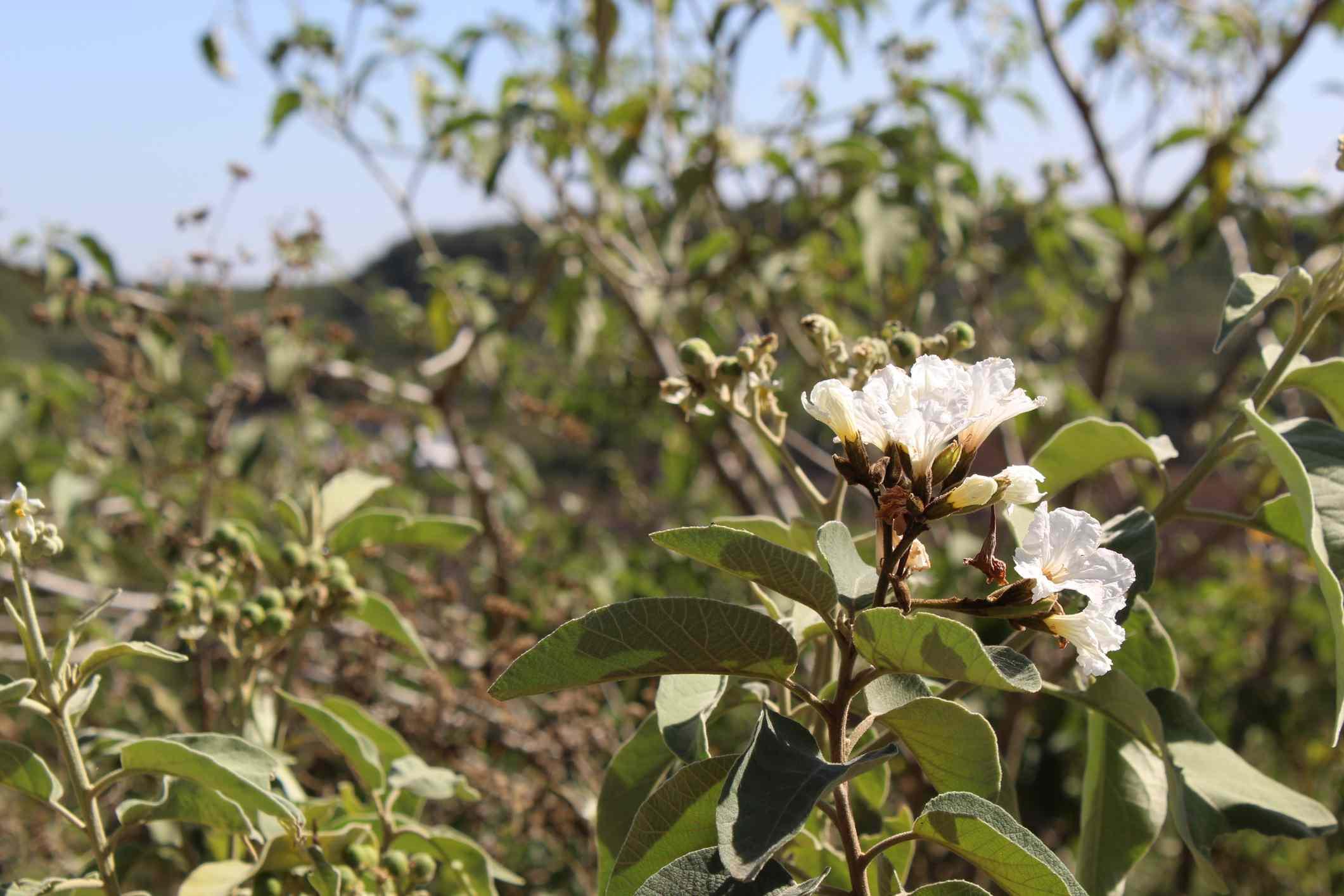Texas Olive (Cordia boissieri)