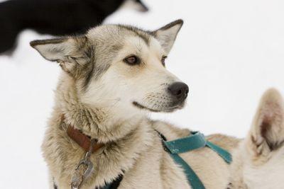 Sled dog close up