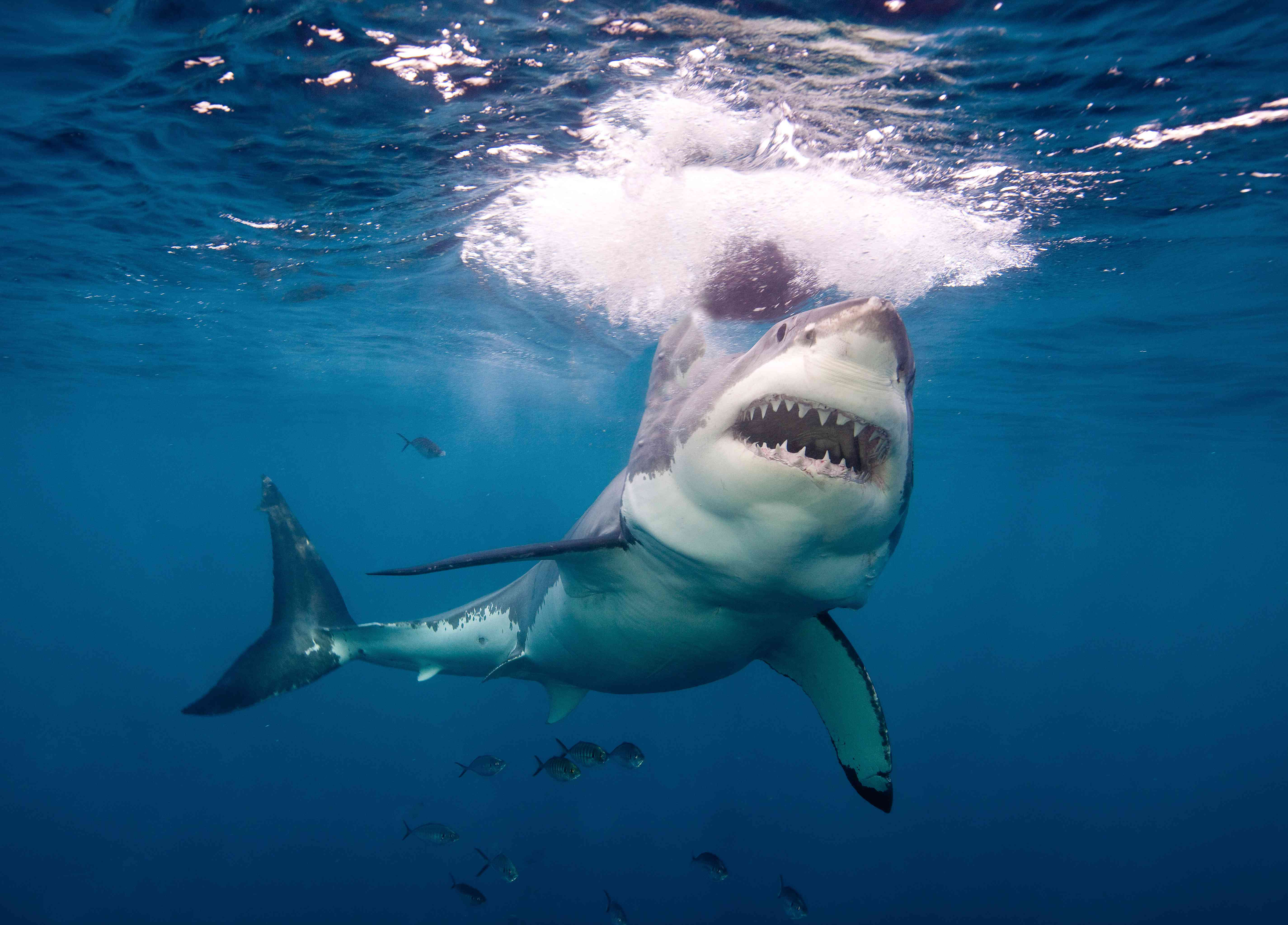 A great white shark with open mouth swims up toward prey near the water's surface.