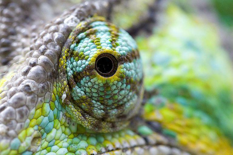 Los camaleones que cambian de color luchan por adaptarse a las nuevas amenazas ambientales