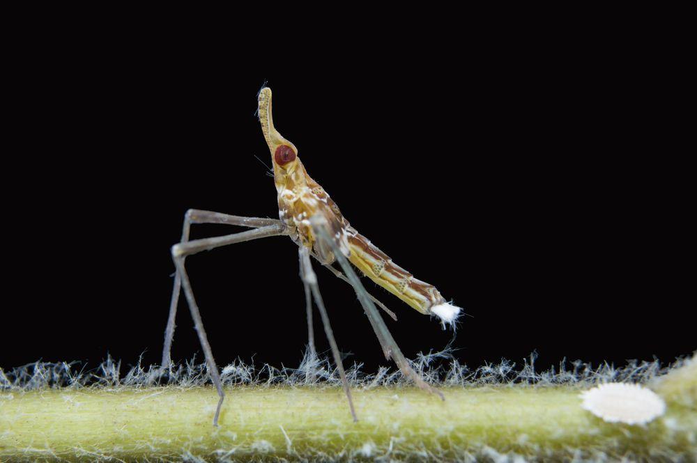 planthopper nymph waxy protrusion