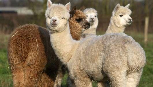 ¿Qué es más lindo que una alpaca?